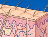 medical illustration of skin and hair follicles